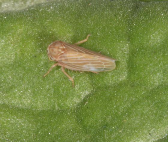 Brown and white leafhopper - Agallia