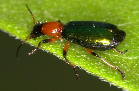 Green & red iridescent beetle - Calleida punctata