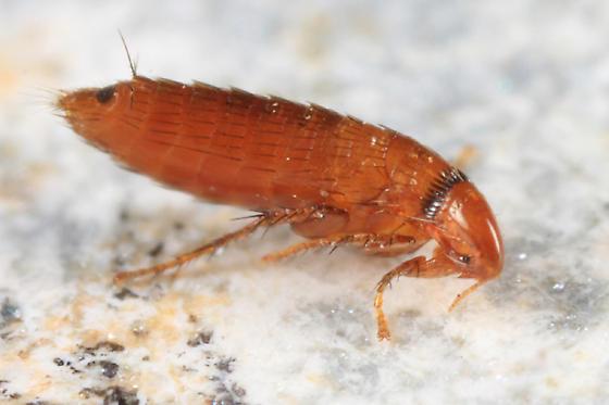 squirrel flea - Orchopeas howardi