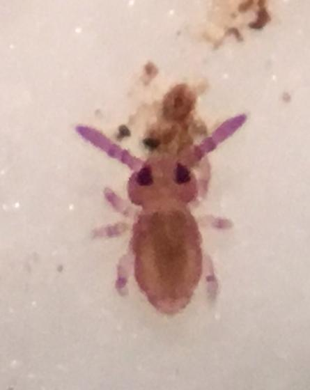 Young springtail?