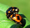 Orange-spotted Lady Beetle - Brachiacantha ursina - male - female