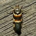 Moth - Spragueia funeralis