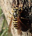 Vespula squamosa - female