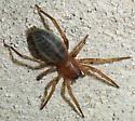 Sac Spider? - Elaver - female