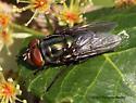 Fly - Cochliomyia macellaria