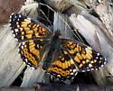 Lepidoptera - Chlosyne gorgone - male