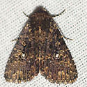 Dusky Groundling Moth - Hodges #9696 - Condica vecors