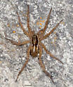 Spider on a rock - Pardosa
