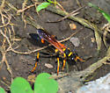 yellow black wasp - Sceliphron caementarium - female