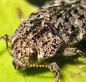 Boring beetle - Dicerca tenebrosa