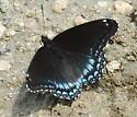 Beach Butterfly - Limenitis arthemis