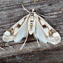 Polymorphic Pondweed Moth - Parapoynx maculalis