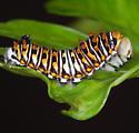 cat. - Papilio polyxenes