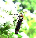 unidentified bug - Atteva aurea