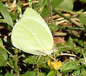 sulphur - Kricogonia lyside