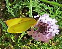 California Dogface Butterfly - Zerene eurydice - female