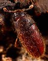 Coleoptera - Diplocoelus rudis