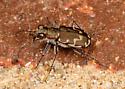 unknown tiger beetle - Cicindela repanda ? - Cicindela repanda