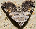 Moth - Idia americalis