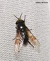 Another dancing fly - Chrysops cuclux - male