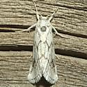 Moth - Acopa perpallida
