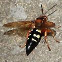 Eastern Cicada-killer Wasp - Posterior Dorsal  - Sphecius speciosus