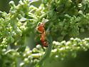 Camponotus castaneus?? - Camponotus castaneus