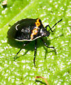 Beetle - Black and Red - need ID - Cosmopepla conspicillaris