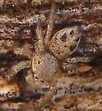tan salticid - Habronattus - female