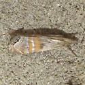 Euchromius californicalis