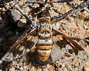 Unknown Bee Fly 4947 - Exoprosopa fascipennis