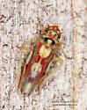 Cicadellidae - Rossmoneura calva