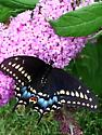 First butterfly this summer - Papilio polyxenes - female