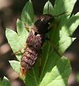Rove Beetle ID Request - Platydracus maculosus