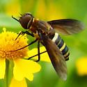Bee fly ID - Exoprosopa fasciata