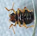 Small shiny beetle - Paria fragariae-complex