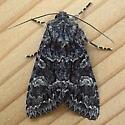 Noctuidae: Platypolia loda - Platypolia loda