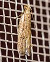 Glyphidocera, perhaps juniperella? - Glyphidocera
