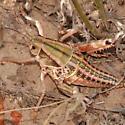 Pink-striped grasshopper nymph - Brachystola magna - female