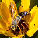 new wasp on the farm? - Bicyrtes