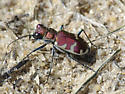 Big Sand Tiger Beetle - Cicindela formosa