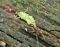 ant with prey - Aphaenogaster rudis