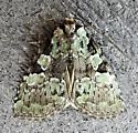 Leuconycta lepidula - Marbled-green Leuconycta - Hodges#9066 - Leuconycta lepidula