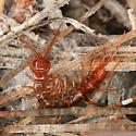 Stone Centipede - Bothropolys xanti