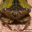 Cicada - Tibicen pronotalis