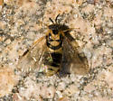 Pine Sawfly - Diprion similis