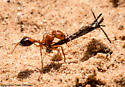3060 Red Ant Carrying Seed  - Pogonomyrmex californicus