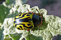 beetle - Calligrapha serpentina