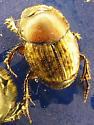 Color , size variation - Onthophagus nuchicornis - female