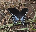 Possible Limenitis? - Papilio troilus - female